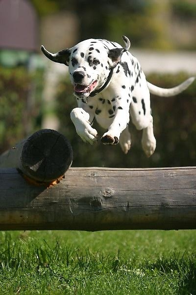 Dalmatin má nejenom puntíkatý kabátek, ale i nejistý původ!