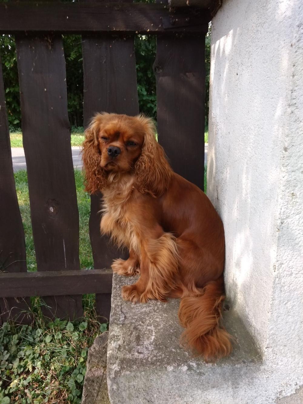 Pes, kterého vyšlechtil král sám!Dezert