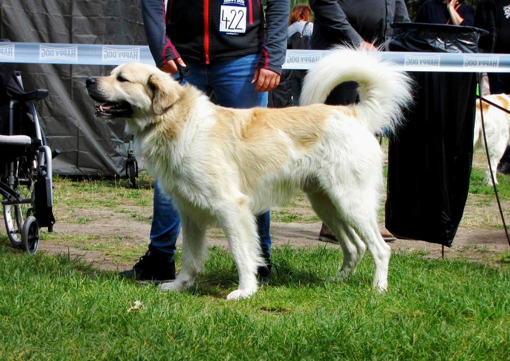 Ti nejkrásnější z českých horských psů...