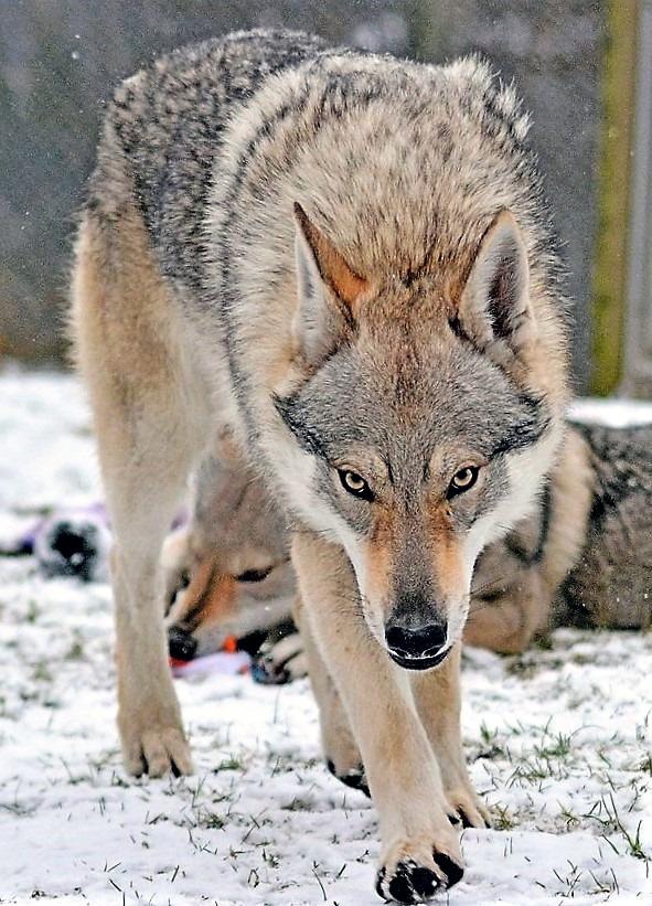 """Peter Krotkovský: """"Ak stratíme vzhľad vlka, stratíme celé plemeno!"""""""