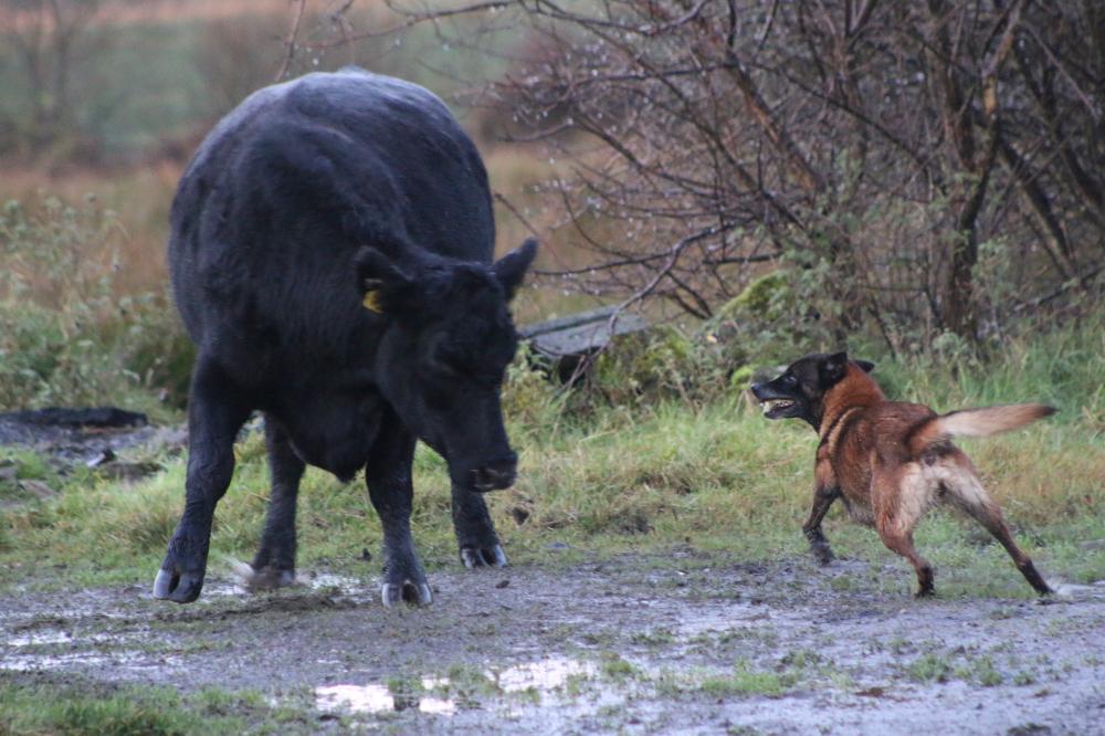 Anketa majitelů – belgický ovčák malinois