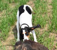 Bernský honič je lovec a prima parťák!