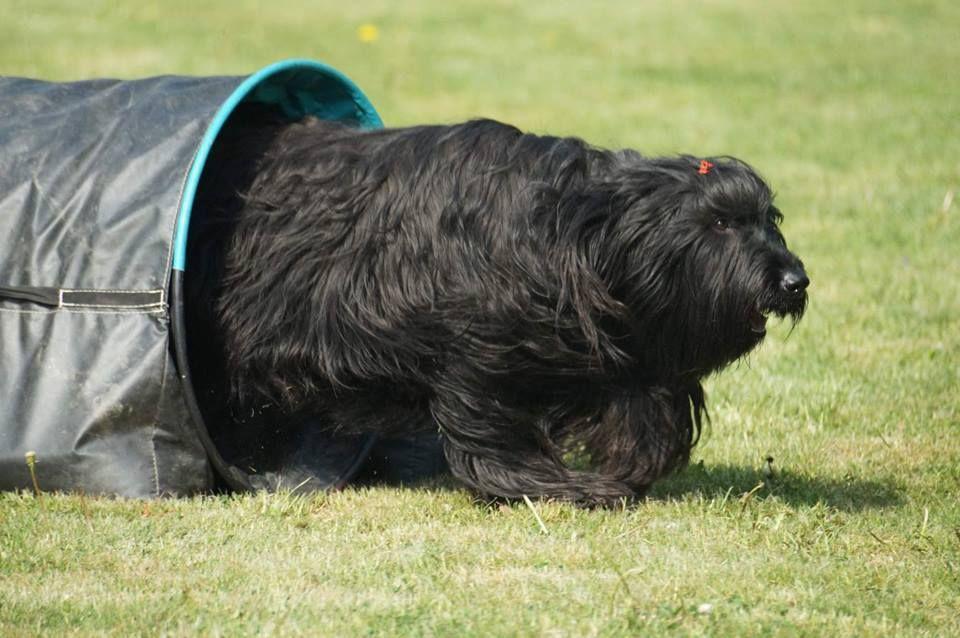 Protože briard je pes velmi aktivní a temperamentní c32ddb9aa6f