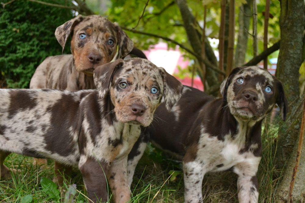 leopardí pes
