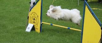 Tento ryze společenský psík může být i výborným parťákem na agility.