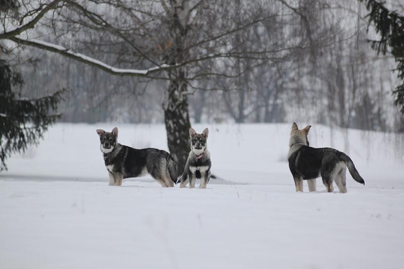 švédský losí pes
